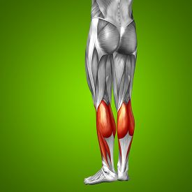 picture of human muscle  - Concept or conceptual 3D gastrocnemius human lower leg anatomy or anatomical and muscle on green gradient background - JPG