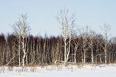 Birchwood In The Winter.