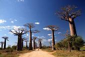 Avenida de Baobá