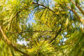 pic of pine-needle  - Pine tree close - JPG
