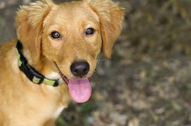 picture of puppy eyes  - Cute dog looking up is a closeup of a sweet looking amber colored puppy that is happy to be outdoors - JPG