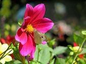 Sulfur butterfly on flower of a dahlia