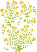 Floral elements for design, vector illustration, St.John's Wort (Latin: Hypericum perforatum)