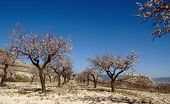Semana Santa en España - Castillo de español con flores de almendras - Ubicación: Castalla (Alicate - España)