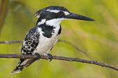 Pied Kingfisher; Ceryle Rudis; South Africa