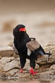 Bateleur sitting at water hole; Terathopius Ecaudatus; South Africa; Kalahari desert