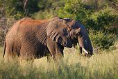 African Elephant feeding in bushveld; Loxodonta Africana