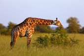 Giraffe grazing green leaves in the wild ; Giraffa Camelopardalis