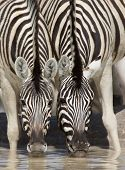 Two zebras drinking together at waterhole in Etosha; Equus burchell's