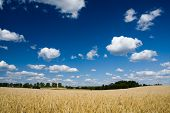 Golden wheat field and blue sky with fluffy clouds poster