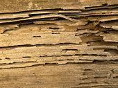 stock photo of termite  - termite infested wood close up - JPG