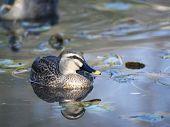 Spot bill duck in blue dawn pond