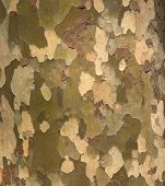 Camouflage pattern like Platunus ( sycamores ) tree bark.