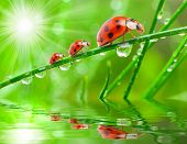 Three ladybugs running on a grass bridge over a rainy slop.