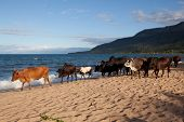 Lake malawi with cattle