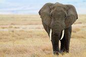 ican elephant