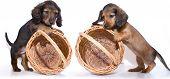 miniature dachshund puppy and basket