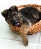 stock photo of shepherd dog  - German sheepdogs black puppy sitting in basket - JPG