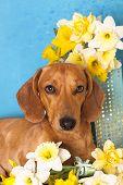 dachshund perro y narcisos amarillos de la primavera