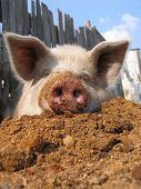Funny pig on sawdust