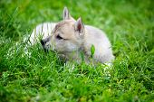 A Beautiful Siberian Laika Puppy Lying Down On The Grass poster