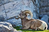 Large bighorn sheep laying in the shade on the grass.