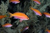 A school of anthias fish in Egyptian Red Sea fairy basslet Pseudanthias taeniatus