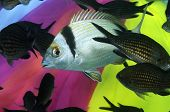 A bream and shool of damsel fishes in front of colorful background