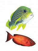 Yellow and red fishes isolated on white background
