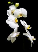 Orchid Phalaenopsis. Flowers White Orchids On A Black Background.