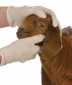 veterinair zorgvuldigheid - dierenarts onderzoeken jonge geit op witte achtergrond