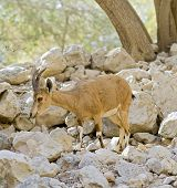 young nubian ibex starring at camera in Ein-Gedi Israel