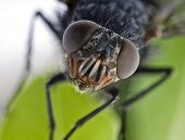 Extreme close-up de una cabeza de mosca