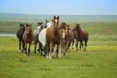 Horse Running / herd in  steppe