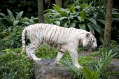 Whiter tiger on jungle background