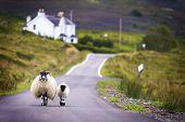 Duas ovelhas andando na rua, na Escócia