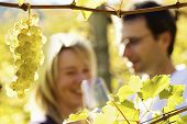 Close-up of bunch of green grapes hanging from vine in vineyard with blurred smiling female and male (couple) in background holding glasses for wine tasting.