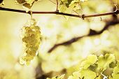 Close up of backlit bunch of green grapes in vineyard hanging from vine ready for harvest with ample