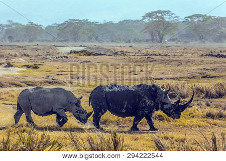 Pair of gorgeous white rhinos