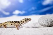 stock photo of hemidactylus  - Gecko leopard on sand in natural environment - JPG