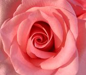 picture of pink rose  - macro of a beautiful pink rose - JPG