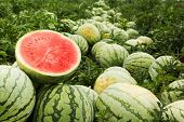 Red Cut Watermelon On A Pile Of Ripe Watermelons In A Field. poster