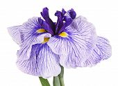 Purple And White Flower Of A Japanese Iris