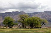 Oak Trees In The High Sierras