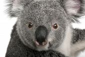 stock photo of koala  - Young koala - JPG