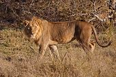 The African Lion (lat. Panthera Leo). Male Lions Have A Large Mane Of Thick Hair Up To 40 Cm poster