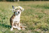 A Cute Little Dog Chihuahua With A Wreath Of Chamomile On Her Head Sits In The Sun In The Meadow Wit poster