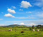 The typically English countryside landscape with sheep pasturing on green grass, Lake District Natio poster