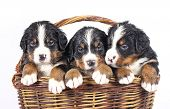 bernese sennenhund puppies in basket on a white background