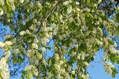 White Beautiful Blooming Bird Cherry In The Spring Sunny Day. Flowers Bird Cherry Tree. White Bird C poster